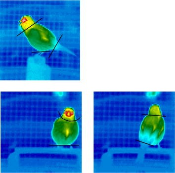Heat transfer and the energetic cost of singing by canaries
