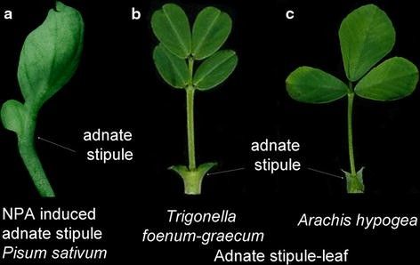 Parallelismic homoplasy of leaf and stipule phenotypes among
