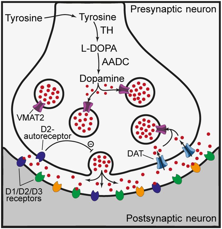 Mesencephalic And Extramesencephalic Dopaminergic Systems In