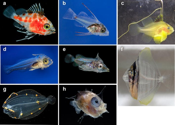 Taxonomy And Systematics Of Larval Indo Pacific Fishes A Review Of