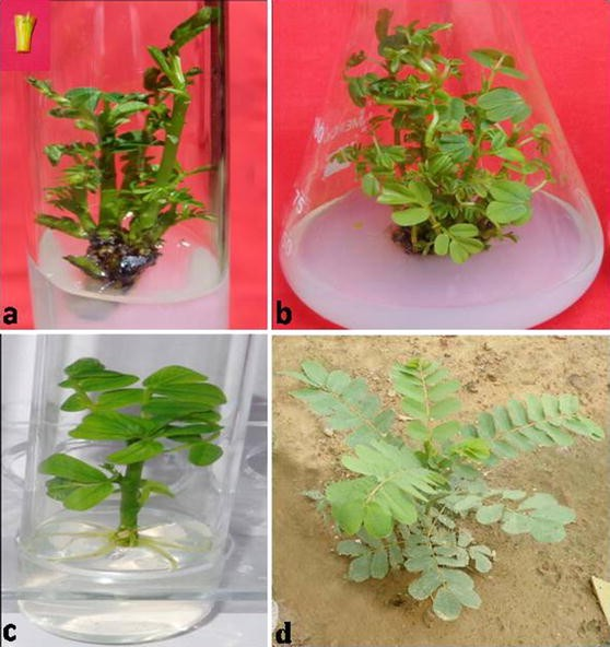 In vitro clonal propagation and evaluation of genetic fidelity using on chinese jasmine plant, chinese good luck plant, chinese house art, chinese house architecture, chinese grass, chinese home, small tree plants, gooseberry plants, chinese house craft, chinese lantern plant, chinese house seeds, chinese house clipart, chinese house design, chinese garden paintings, chinese trees, chinese house roofs, chinese honey, chinese house flower, chinese pets, lucky bamboo plants,