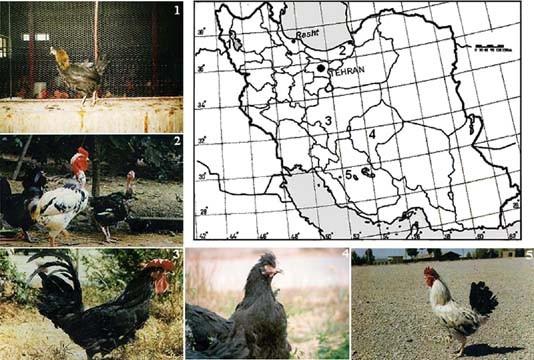 Genetic Diversity in Five Iranian Native Chicken Populations