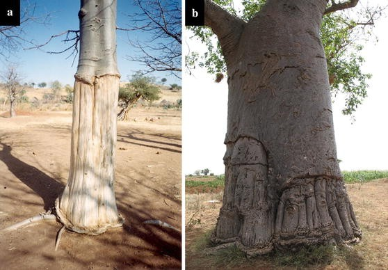 Africa's wooden elephant: the baobab tree ( Adansonia