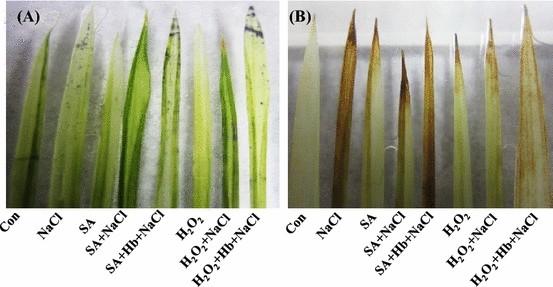 Nitric oxide mediates hydrogen peroxide- and salicylic acid