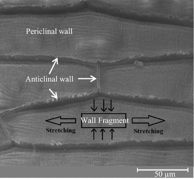 The mechanical properties of plant cell walls soft material at the open image in new window malvernweather Gallery