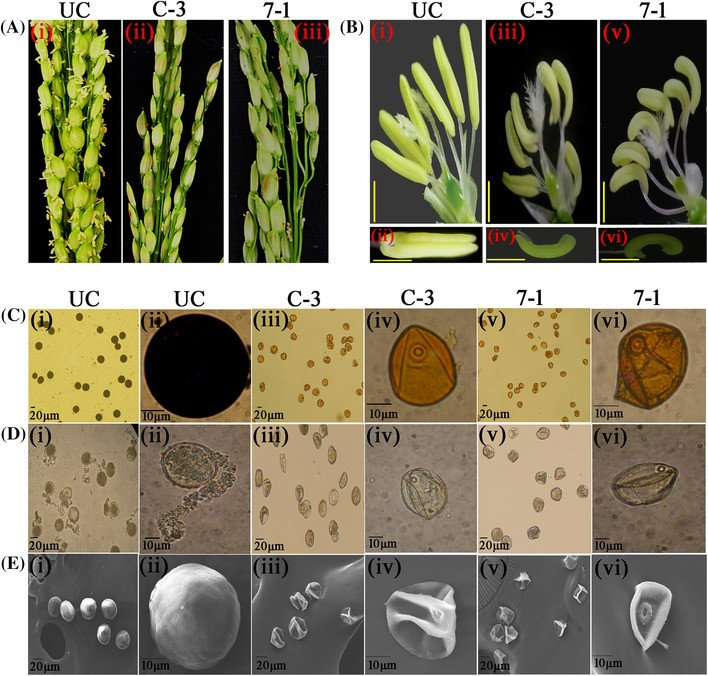 Evolvement of transgenic male-sterility and fertility-restoration