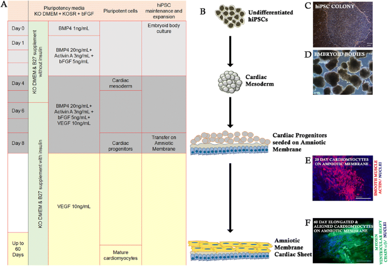 Amniotic Membrane As Novel Scaffold For Human Ipsc Derived