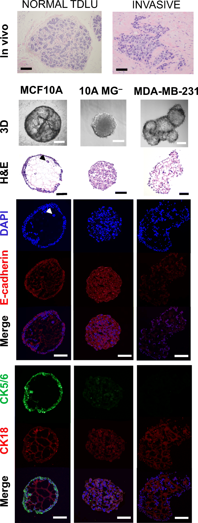 A reproducible scaffold-free 3D organoid model to study