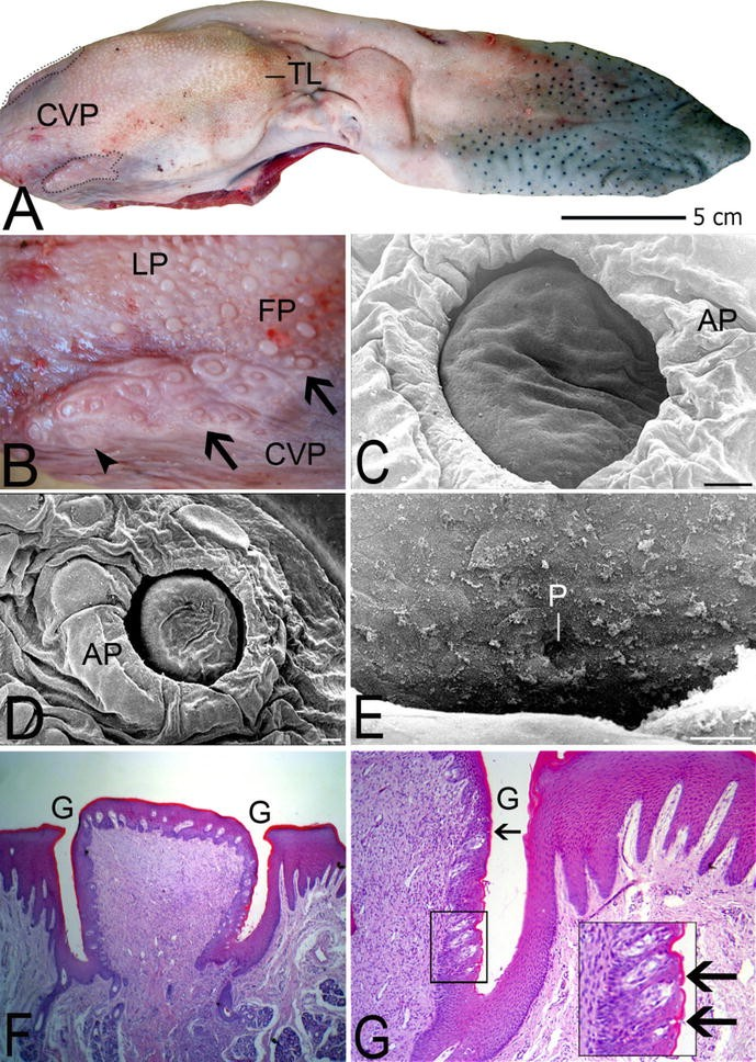 Morphological Variations Of The Vallate Papillae In Some Mammalian