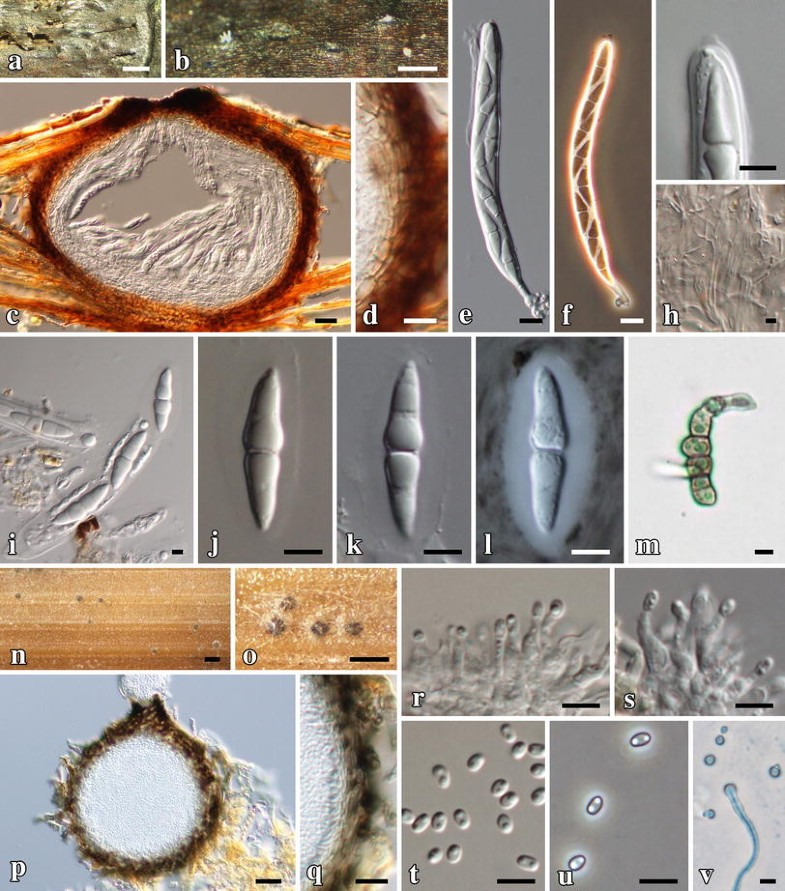 Fungal diversity notes 367–490: taxonomic and phylogenetic