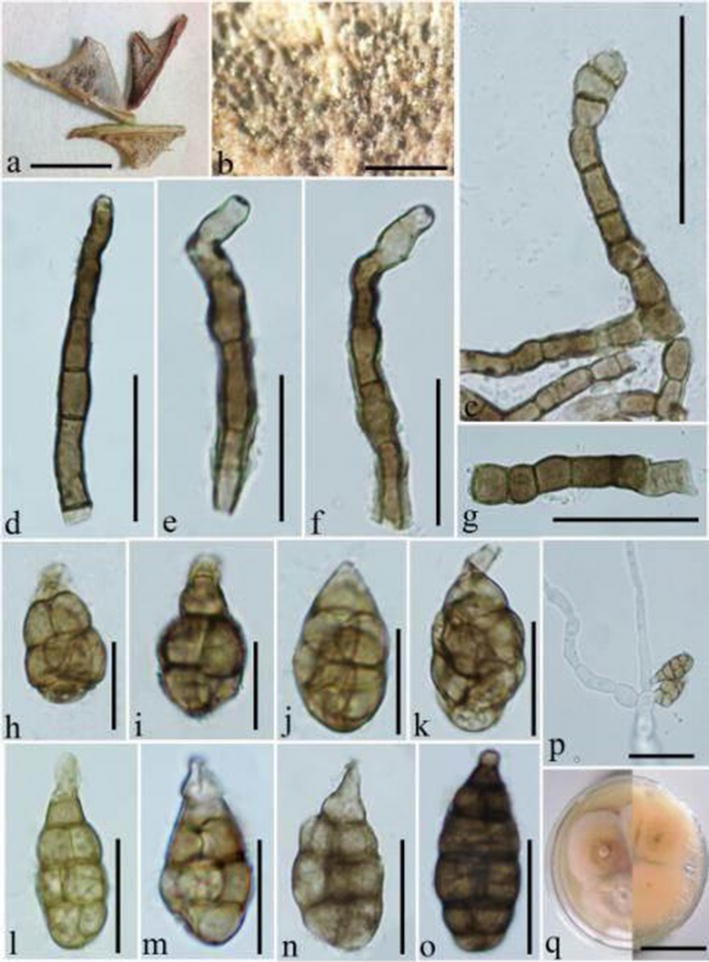 Fungal diversity notes 709–839  taxonomic and phylogenetic ... 1f6b4e43253