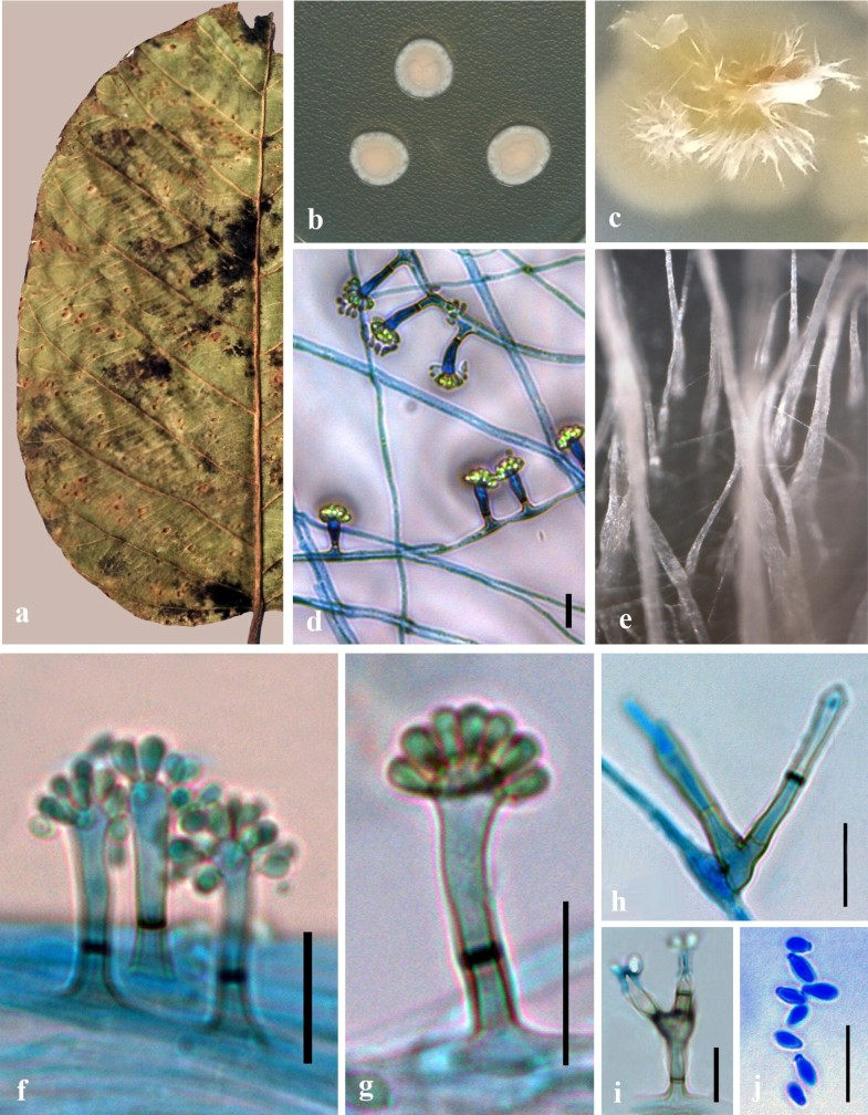 90aadb96e8a354 Fungal diversity notes 929–1035: taxonomic and phylogenetic ...