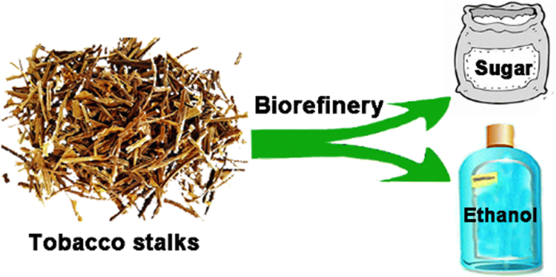 Enhancement of saccharification and ethanol conversion from tobacco