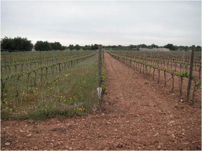 Improving water use efficiency of vineyards in semi-arid