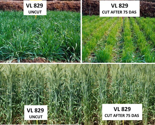 Wheat Improvement in Northern Hills of India | SpringerLink