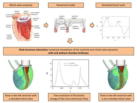 Effects of mitral chordae tendineae on the flow in the left heart ...