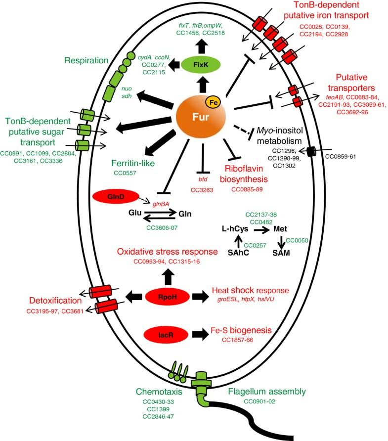 Global Transcriptional Response Of Caulobacter Crescentus To Iron