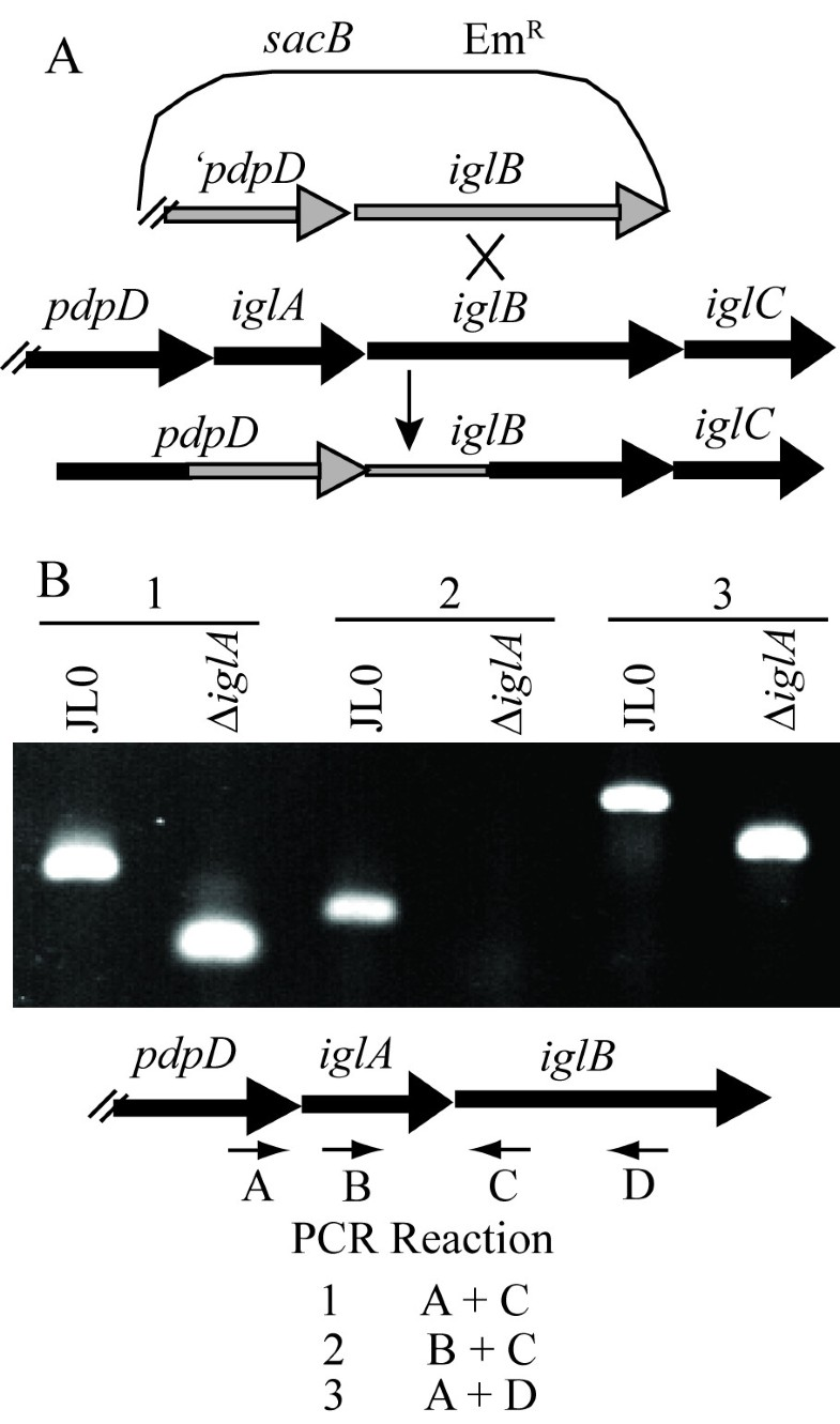 The Francisella pathogenicity island protein IglA localizes to the