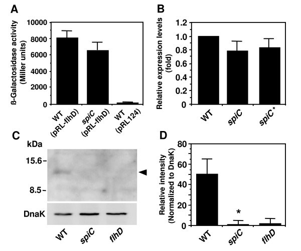 Involvement Of Spi 2 Encoded Spic In Flagellum Synthesis In