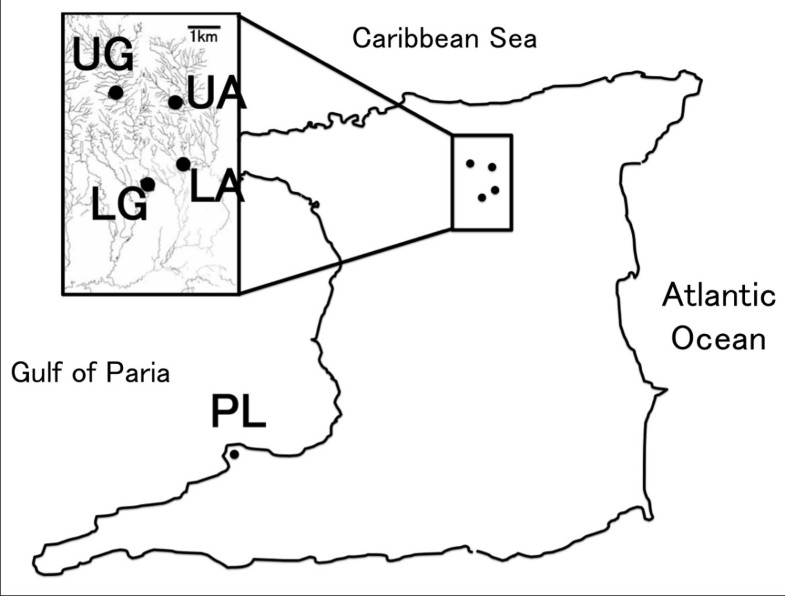 The Mc1r Gene In The Guppy Poecilia Reticulata Genotypic And