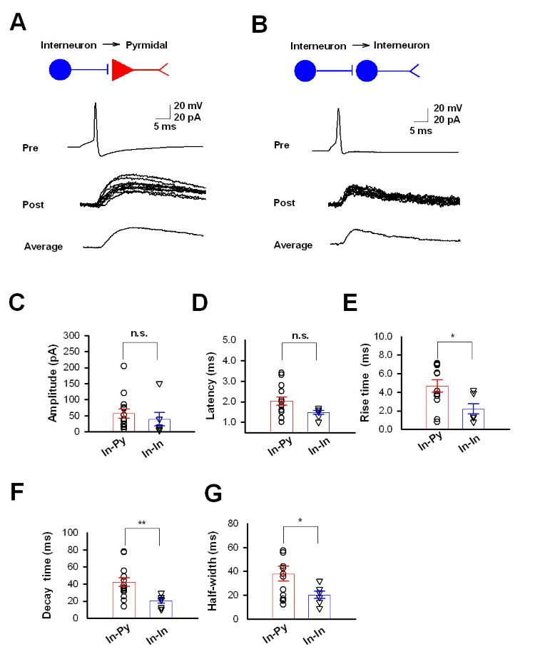 characterization of intracortical synaptic connections in