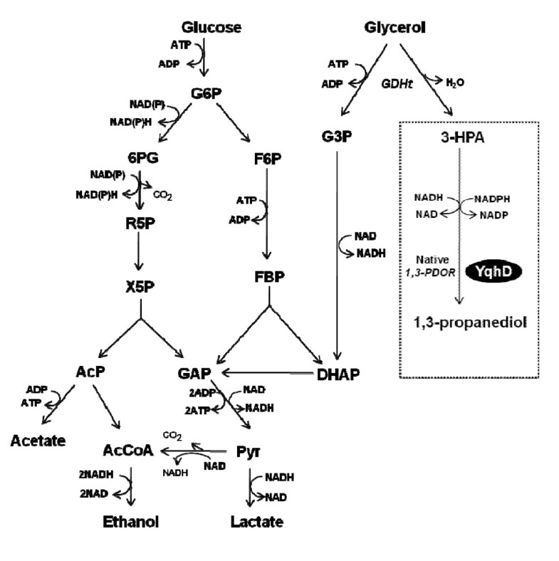 Glycerol Conversion To 1 3 Propanediol Is Enhanced By The