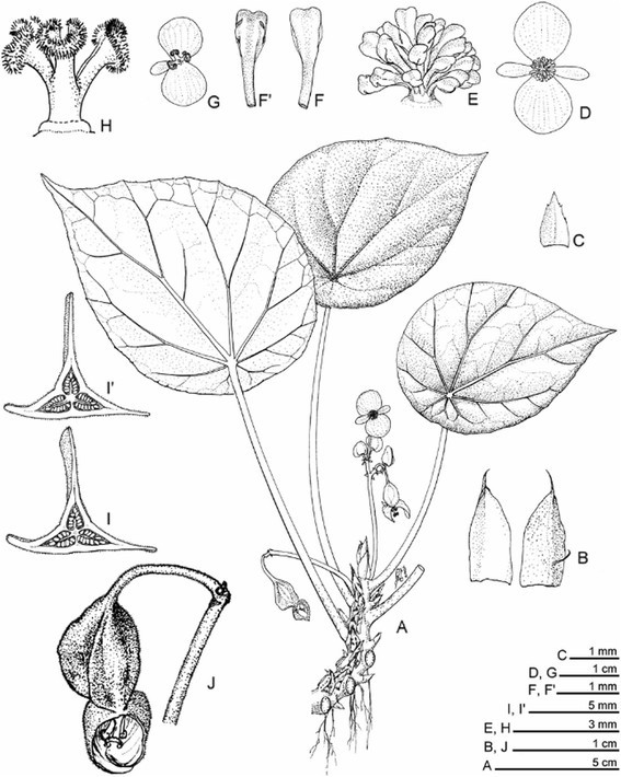 Two New Species Of Begonia Sect Coelocentrum B Guixiensis And B