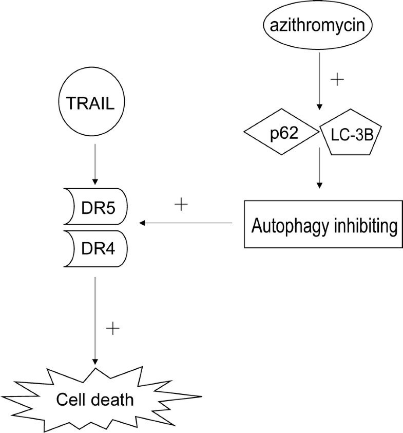 azithromycin enhances anticancer activity of trail by inhibiting autophagy and up