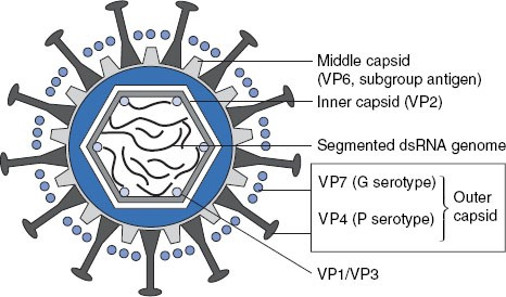 Rotavirus Infections and Vaccines   SpringerLink