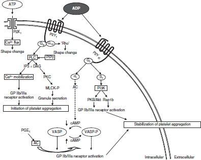 Platelet P2y12 Receptor Inhibition