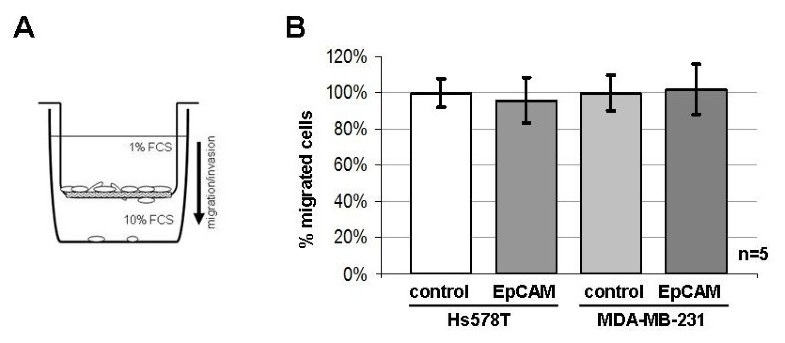 Effects Of Epcam Overexpression On Human Breast Cancer