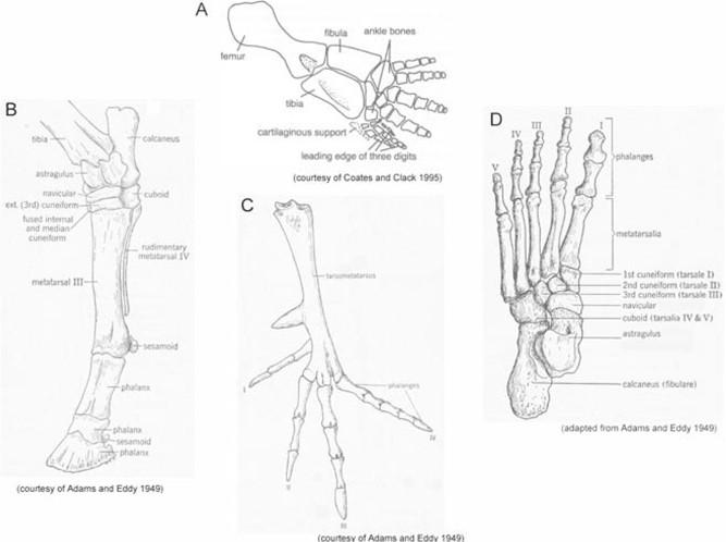 Resultado de imagen para human foot bones comparative with paddle