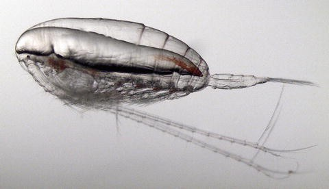 Population Genomics of Marine Zooplankton | SpringerLink