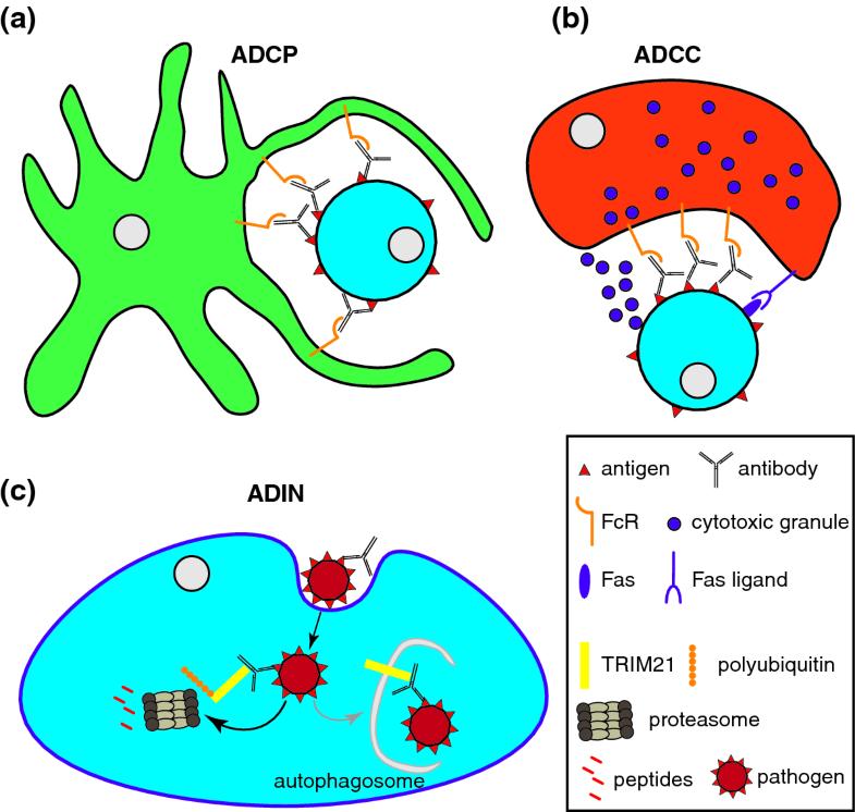 Fc Receptors in Antimicrobial Protection | SpringerLink
