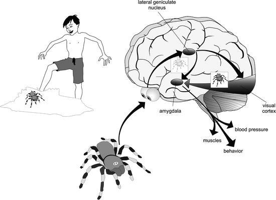 Neurobiological Basis Of Emotions