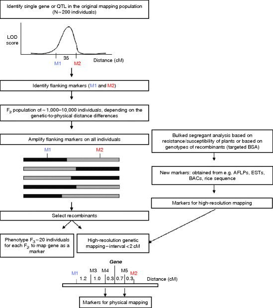 Genetic Mapping in the Triticeae | SpringerLink on human genome, cognitive mapping, human genome project, restriction maps, thomas morgan's linkage mapping, gene map, molecular genetics, quantitative trait locus, three-point cross, community mapping, dna mapping, mental mapping, mendelian inheritance, snp genotyping, genome-wide association study, association mapping, genetic marker,