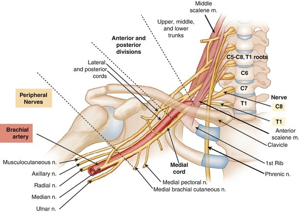 Clinical Anatomy of the Brachial Plexus | SpringerLink
