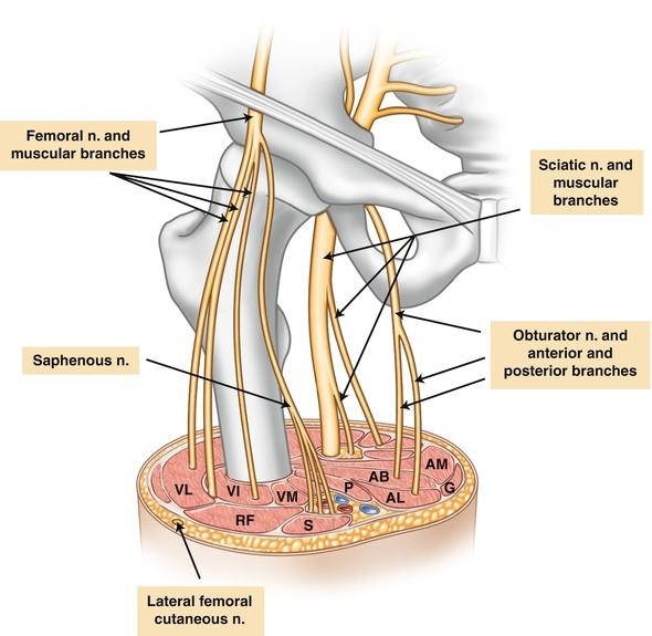 Clinical Anatomy Of The Lumbar Plexus Springerlink