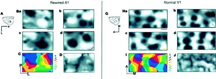 Population Dynamics in Auditory Cortex: Optical Imaging | SpringerLink