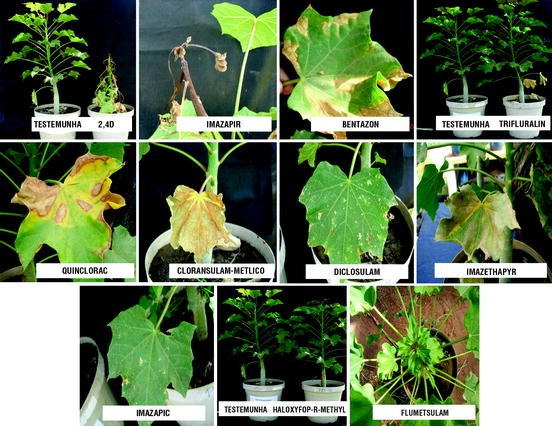 Phytosanitary Aspects of Jatropha Farming in Brazil