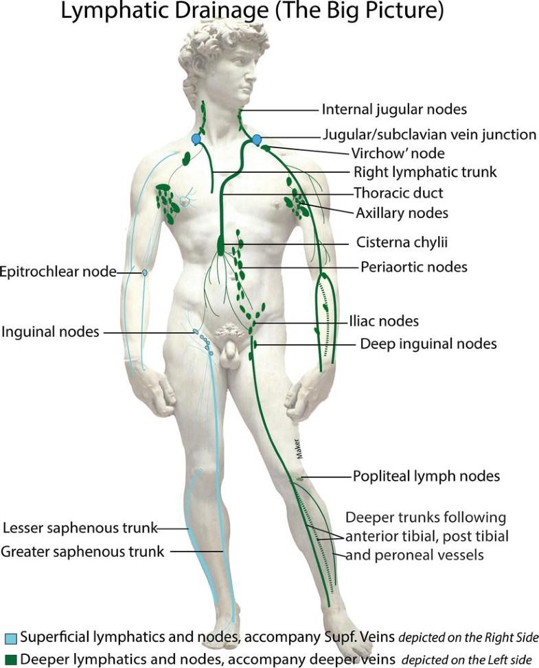 Lymphatic System Springerlink