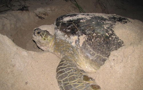Sea Turtles of the Gulf of Mexico | SpringerLink