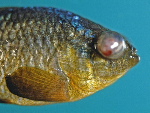 Diseases and Mortalities of Fishes and Other Animals in The