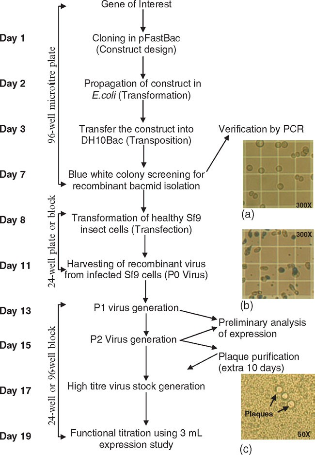 Baculovirus Expression Vector System: An Emerging Host for