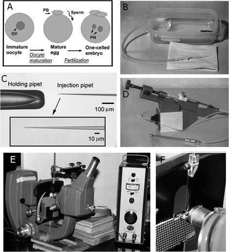 Quantitative Microinjection of Mouse Oocytes and Eggs   SpringerLink