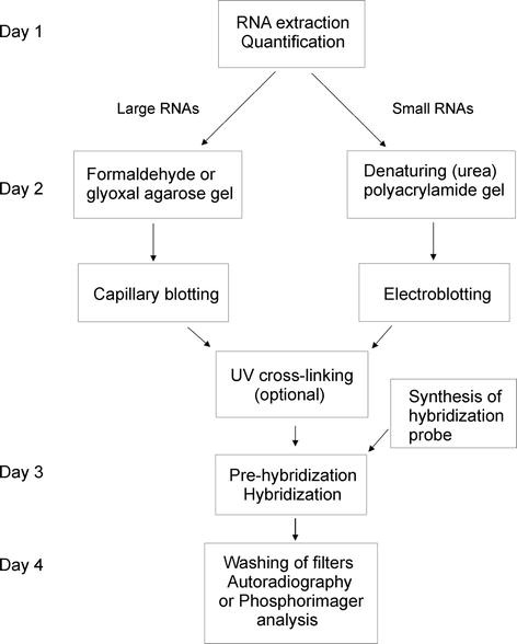 Northern Blotting Analysis | SpringerLink