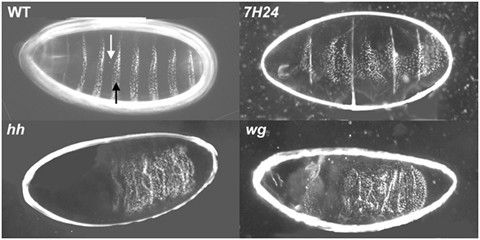 Phenotypes of leo P1188 mutant embryos. Cuticle