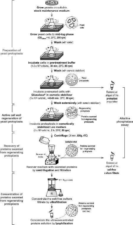 Collection of Proteins Secreted from Yeast Protoplasts in