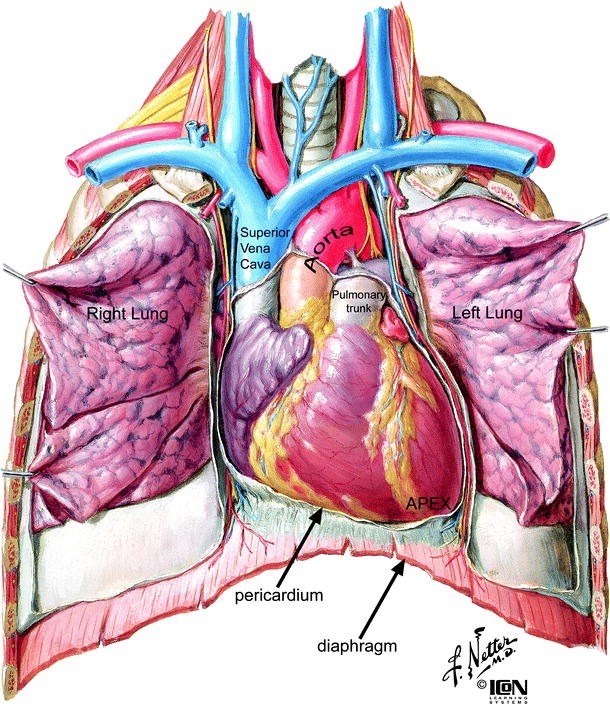 Anatomy of the Human Heart | SpringerLink