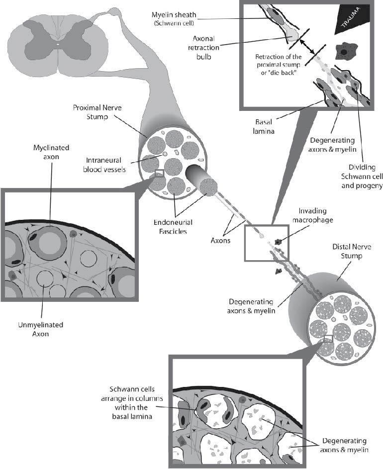 Degeneration, Regeneration, And Plasticity In The Nervous System |  SpringerLink